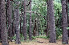 Skłoniony drzewo Fotografia Stock