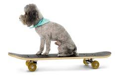 Sk8er Poodle Royalty Free Stock Image