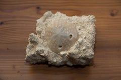 Skała z dołączającą skamieniałą skorupą obraz stock