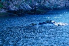 Skały i foki w Bonaventure wyspie fotografia royalty free