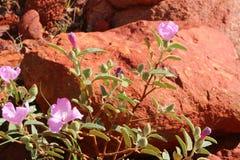 Skały różany dorośnięcie w suchej ziemi czerwony centrum Australia zdjęcie stock