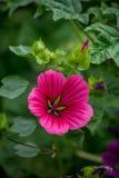 Skały róży menchie Zdjęcia Stock