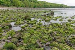 Skały zakrywać z algą przy brzegowym Firth Naprzód, Szkocja fotografia royalty free