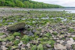 Skały zakrywać z algą przy brzegowym Firth Naprzód, Szkocja obrazy stock