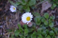 Ska Sedmikrà ¡, Daisy, λευκό, λουλούδι, λεπτομέρεια στοκ εικόνες