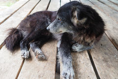 Skabbig hund som lägger på trätabellen, fattig hund, svart hund Arkivbild