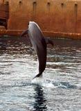 skaczący delfinów Fotografia Stock