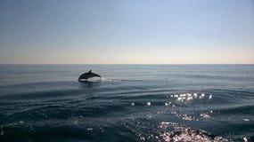 1 skaczący delfinów Zdjęcia Stock