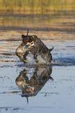 Skaczący Pies Zdjęcie Royalty Free