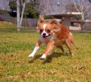 Skaczący pies Zdjęcia Royalty Free