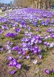 Skacze w parku, krokusów kwiatów pole Zdjęcie Royalty Free