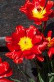 Skacze w parku, tulipany jest czerwony Zbliżenie fotografia czerwony tulipan c obrazy stock