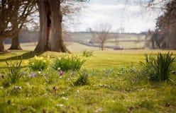 Skacze w wsi, krokusów i daffodils polu, Zdjęcie Stock