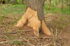 Skada f?r r?da hjortar i skogen royaltyfri fotografi