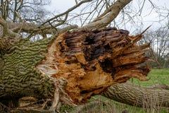 skada fallna skogstormtrees Royaltyfria Bilder
