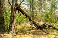 skada fallna skogstormtrees Brutet träd i skogen fotografering för bildbyråer