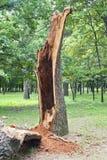 skada fallna skogstormtrees r royaltyfria bilder