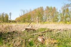 skada fallna skogstormtrees Stupade tr?d efter en storm arkivbild