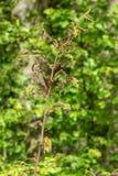 Skada, lövfällning och skogsavverkning som orsakas av stora antal av larver för vintermalOperophtera brumata royaltyfria foton