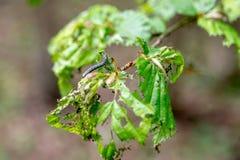Skada, l?vf?llning och skogsavverkning som orsakas av stora antal av larver f?r vintermalOperophtera brumata royaltyfri fotografi