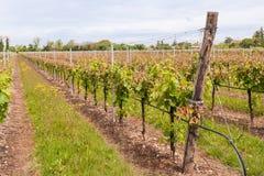 Skada på en vingård royaltyfri fotografi