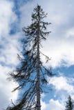 Skada på träd efter den europeiska prydliga typographusen för Ips för skällskalbagge royaltyfria foton
