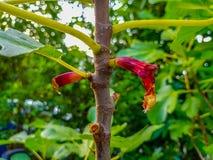 Skada till skörden från fåglar Fikonträd ätas på trädet arkivbild