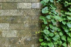 Skadad lantlig vägghalva som täckas av den gemensamma murgrönan Också bekant som Hederaspiral, engelsk murgröna eller europémurgr royaltyfri fotografi