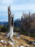 Skadad trädstam för alpin blixt Fotografering för Bildbyråer