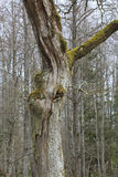 Skadad tree för blixt arkivfoton