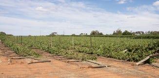 Skadade rader för storm av Chardonnay vinrankor Arkivfoto