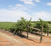 Skadade rader för vind av Chardonnay vinrankor Royaltyfri Bild