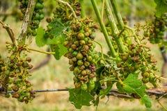 Skadade vingård och druvor och skörd som förstörs efter sträng stor Arkivbild