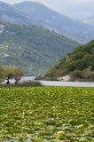 Skadar Lake. Nymphaea odorata, Skadar Lake, Montenegro Stock Images