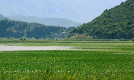 Skadarsko Jezero swamp landscape royalty free stock photos