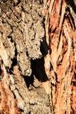 Skadat och sjukt skäll av textur för eukalyptusträd i berget fotografering för bildbyråer