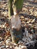 Skadat träd för bäver Arkivfoto