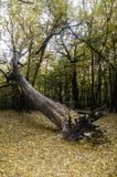 Skadat träd för orkan Fotografering för Bildbyråer