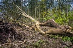 Skadat träd för storm Royaltyfria Bilder