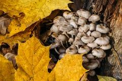 Skadliga och farliga giftiga champinjoner för giftsvampar, arkivbilder