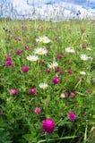 Skadliga vita tusenskönor för Ð-¡ och purpurfärgad växt av släktet Trifolium i en äng Royaltyfri Foto