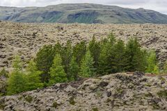 Skaftareldahraun lava fields in Iceland. A group of green trees among Skaftareldahraun lava fields covered with moss in Iceland royalty free stock photography