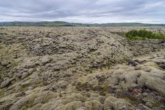 Skaftareldahraun lava fields in Iceland. A group of green trees among Skaftareldahraun lava fields covered with moss in Iceland stock photography