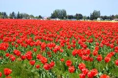 Skagit谷红色和黄色郁金香 免版税库存照片