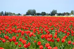 Skagit谷红色和黄色郁金香 免版税图库摄影