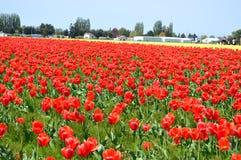Skagit谷红色和黄色郁金香 库存照片