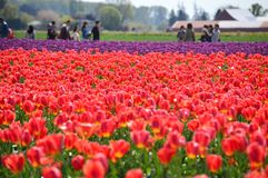 Skagit谷郁金香节日破裂与春天颜色和人群 图库摄影