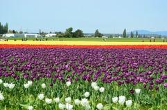 Skagit谷郁金香节日黄色和紫色郁金香 库存照片