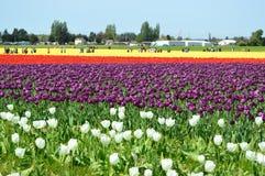 Skagit谷郁金香节日黄色和紫色郁金香 库存图片