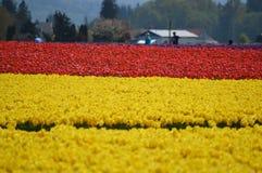Skagit谷黄色和红色郁金香 免版税库存照片